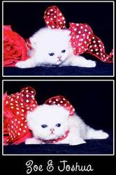 Snow Persian Kittens for Sale