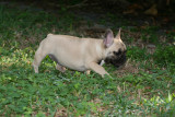 Very Very Cute And Affectionate Male And Female French Bulldog Puppies