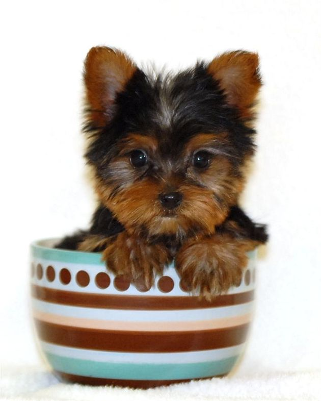 GORGEOUS teacup yorkies pups for free adoption yorkshire