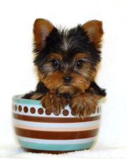 GORGEOUS teacup yorkies pups for free adoption yorkshire Terrier