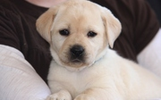 Stunning Labrador Puppies 11 Weeks For Sale