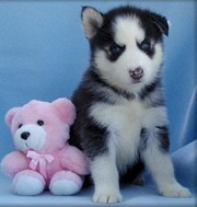 CARMING Siberian Husky puppies Text me at (406) 476-7783