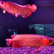 Asian Red Arowana,  Super Red,  Golden and more  text 339-970-9126