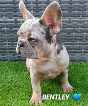 French Bulldog puppies available # 339-970-9126