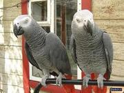 Beautiful Pair of African Grey Parrots for a caring family